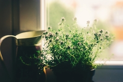 Window with herbs growing on the sill.