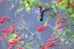 humming bird in flight in garden