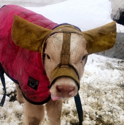 A calf wearing Moo Muffs