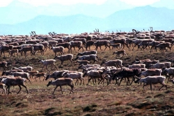 Caribou from the Porcupine Caribou Herd migrate in northeast Alaska