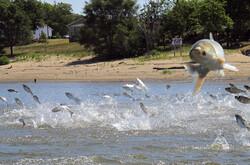 Asian carp in the Illinois River