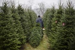 Christmas trees, cutting, sawing, nursery, balsam fir, pine