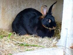A domestic rabbit