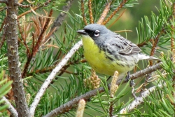 A Kirtland's warbler in the jack pine forests of Michigan