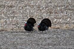 Wild turkeys in Wisconsin field