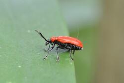 Lily leaf beetle.