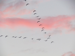 migrating birds in a rosy sky