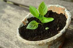 Seedling in peat pot.