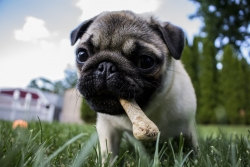 pug with dog treat