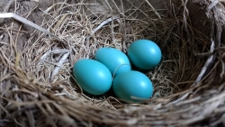 Robin's nest with eggs.
