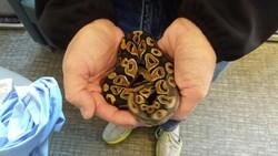ball python, Judith Siers-Poisson
