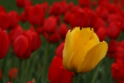 Red tulips and yellow tulip