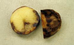 Late blight on potato.
