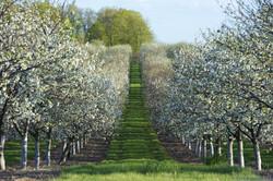 Cherry Orchard Door County
