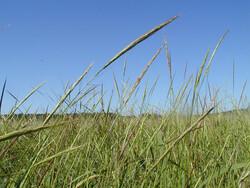 Wild rice seeds