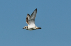Piping plover flying