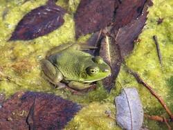 American Bullfrog, photo courtesy of Rori Paloski, WDNR