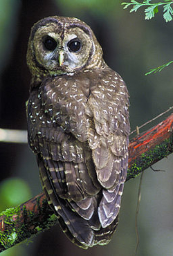 Northern Spotted Owl, image by US Fish and Wildlife Service
