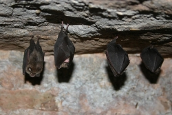 bats hanging in a cave