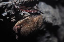 little brown bat with WNS, Brandon Keim (CC-BY-NC-SA)
