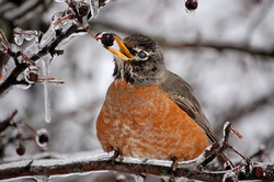 robin in winter, image by Flickr user Bryce Mullet