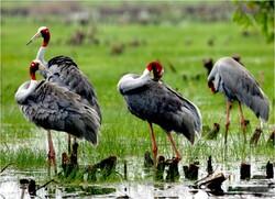 sarus cranes, International Crane Foundation