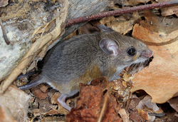 white footed mouse, cotinis (CC-BY-NC-SA)