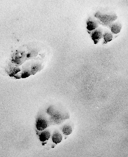 wolf tracks, image by Flickr user m d d