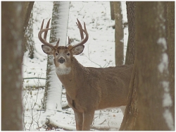 Buck in the woods in winter