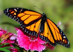 Monarch Butterfly on Sweet William