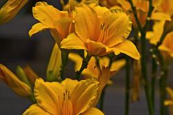 Yellow daylilies.