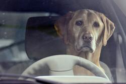Dog behind steering wheel of car