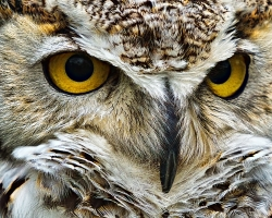 Close-up of a Great Horned Owl