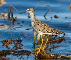 Lesser Yellowlegs migrate through Wisconsin in spring and fall