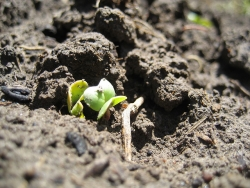radish sprouts, ben klocek (CC-BY)