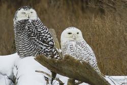 snowy owls, Dustan Sept (CC-BY-NC-ND)