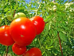 tomatoes, uwgb admissions (CC-BY-NC-SA)