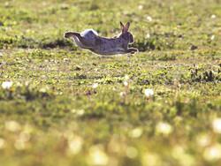 Rabbit running through a meadow