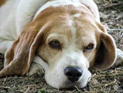 Older beagle