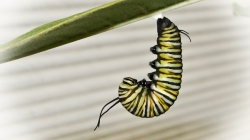 Caterpillar hanging from a plant leaf
