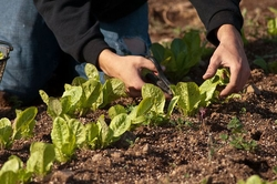 Trimming lettuce in a garden