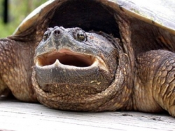 snapping turtle, G.S. Casper, courtesy of Wisconsin Wetlands Association