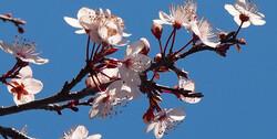 plum tree blosoms