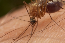 Biting Mosquito
