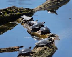 turtles on log at UW Arboretum