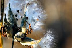 Milkweed with seeds