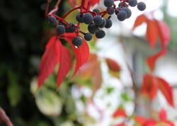 Virginia creeper vine in fall