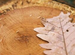 Oak Tree Rings