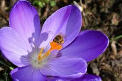 Bee on flower blossom