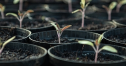 Tomato seedlings in growing tray.